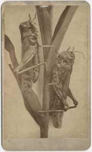 grasshopperew