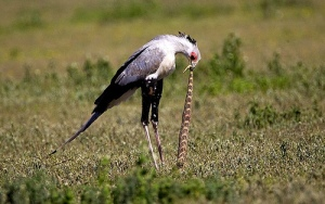 secretary bird eating snake